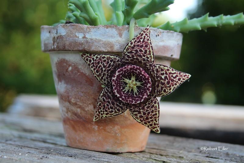 Aasblume-Orbea variegata_Blüte 7cm Foto Eiler_bearb