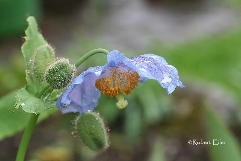Scheinmohn-Meconopsis betonicifolia Foto Eiler_bearb